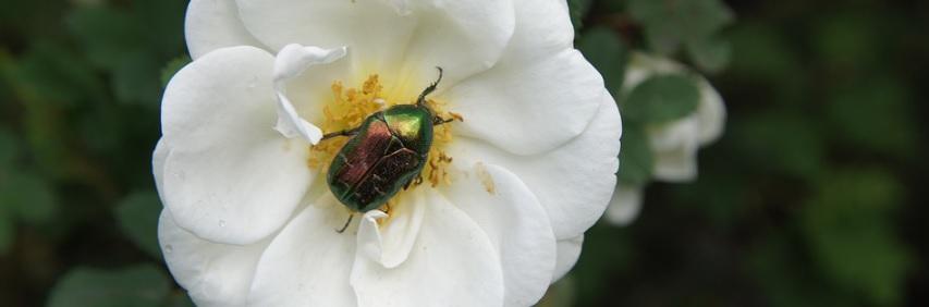 【薔薇】コガネムシから鉢植えを守る方法と被害に合った場合の対処