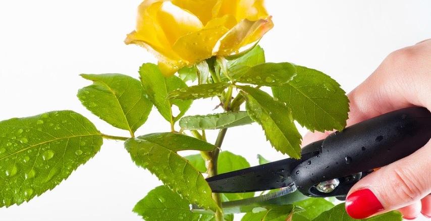 薔薇栽培を楽にする必須道具と便利道具のポイントを紹介