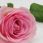 薔薇のブラインドと出開きの処理方法 -次こそ咲かせる適切な処理-