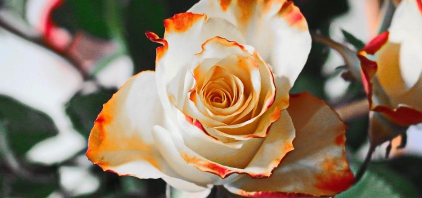 白とオレンジが美しい薔薇