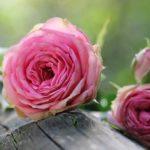 小さな花壇でも薔薇は育つ -理想を追う必要は無い-
