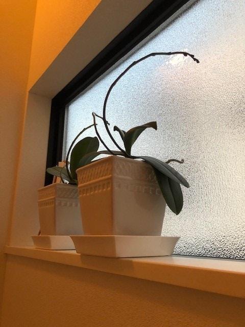 窓辺の胡蝶蘭