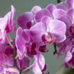 【実は簡単!】自宅で栽培する胡蝶蘭のコツ