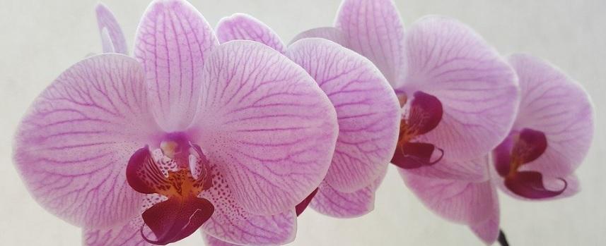 胡蝶蘭の写真3