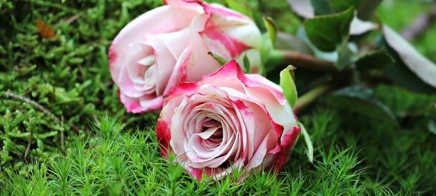 【芽かきって何?】立派な薔薇を咲かせる大事な作業