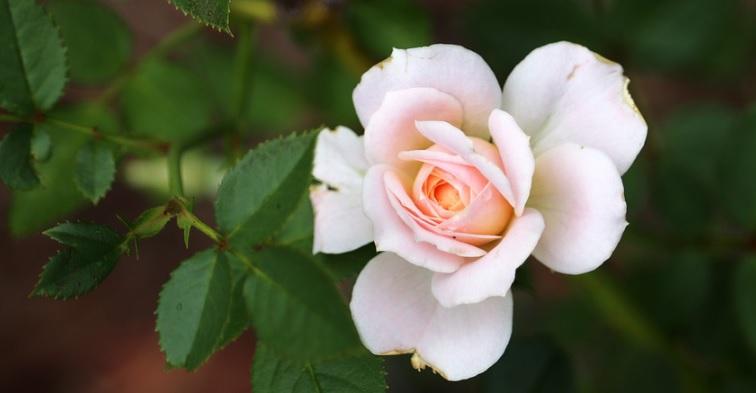 ミニ薔薇を地植えで立派に育てる方法
