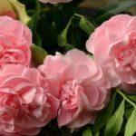 薔薇苗の種類と初心者こそ「新苗の薔薇」から始めるべき理由