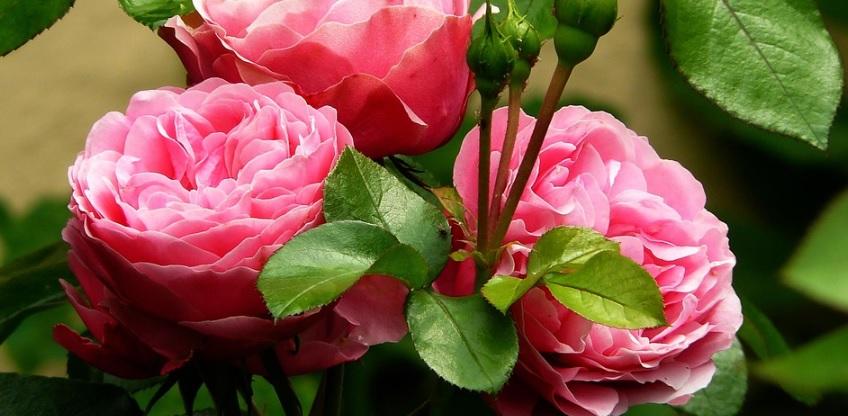ピンク色の薔薇の花束
