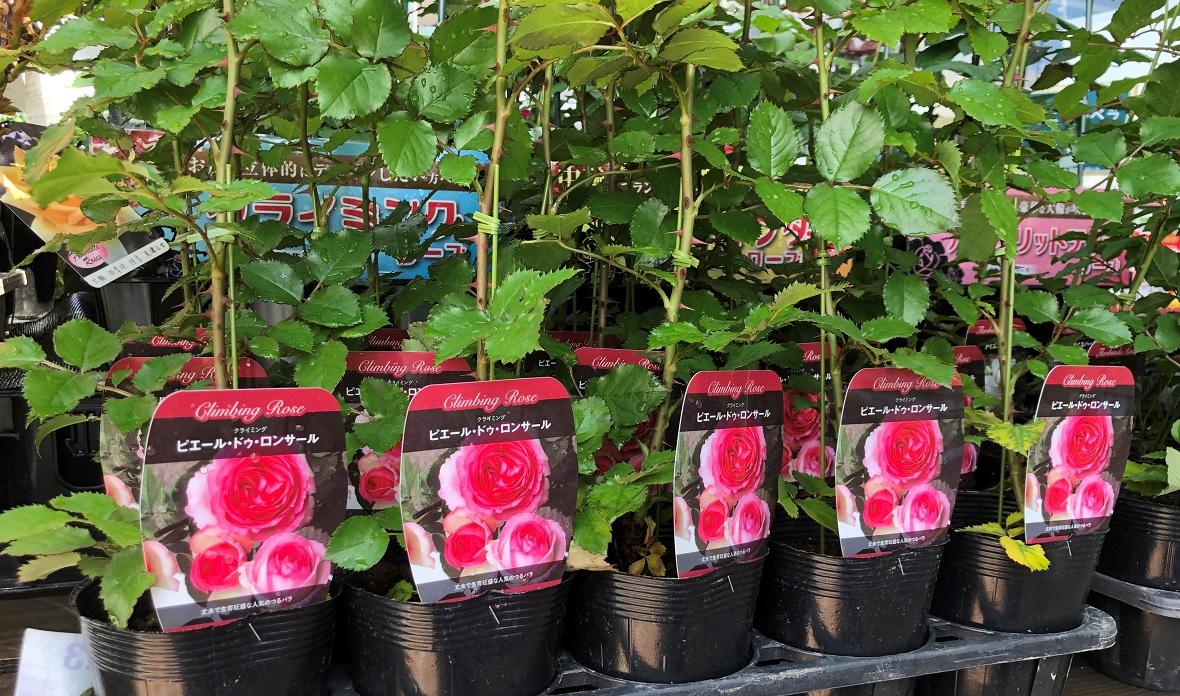 薔薇の新苗は鉢増しで確実にベーサルシュートが発生!薔薇栽培の醍醐味!