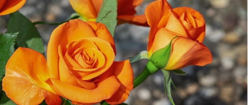 狭い空間で薔薇をコンパクトに育てる方法 -ベランダ栽培で必要な知識-