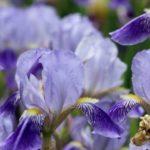球根アイリスを豪華に咲かせる鉢植作りと花後の分球作業