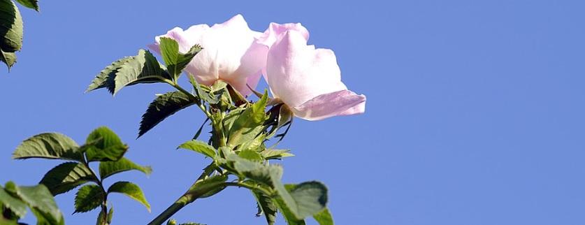 高い位置で咲く薔薇