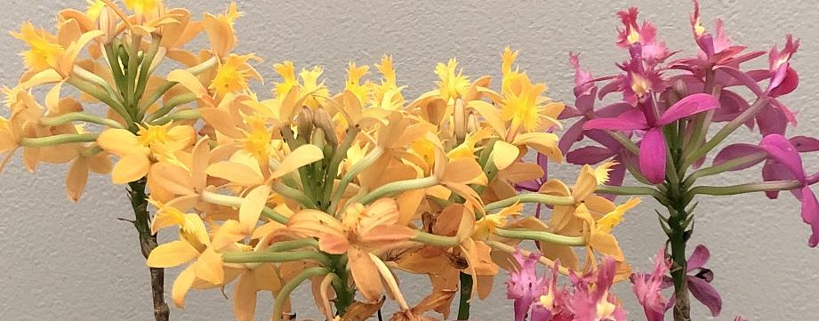 エピデンドラムの花の写真