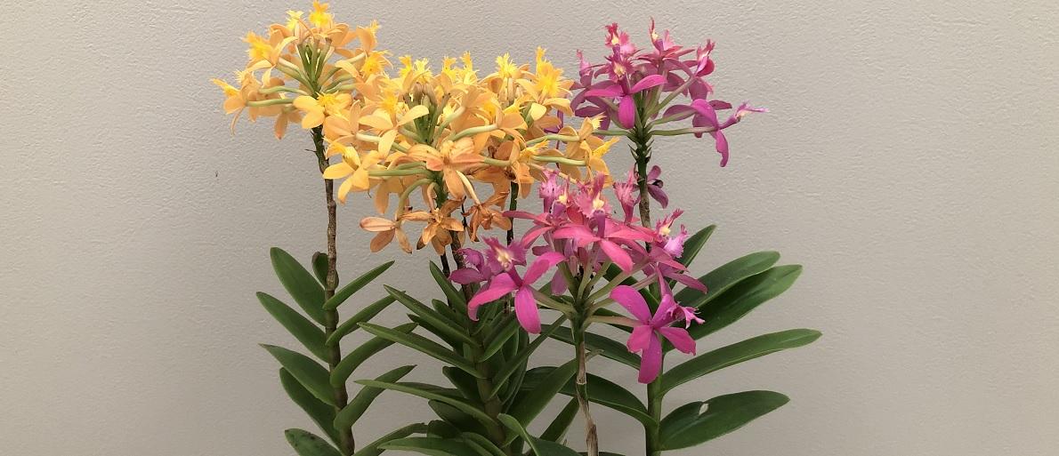 エピデンドラムの育て方と花後の管理法を詳しく紹介