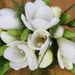 春を彩るフリージアを一杯咲かせる鉢植え作り
