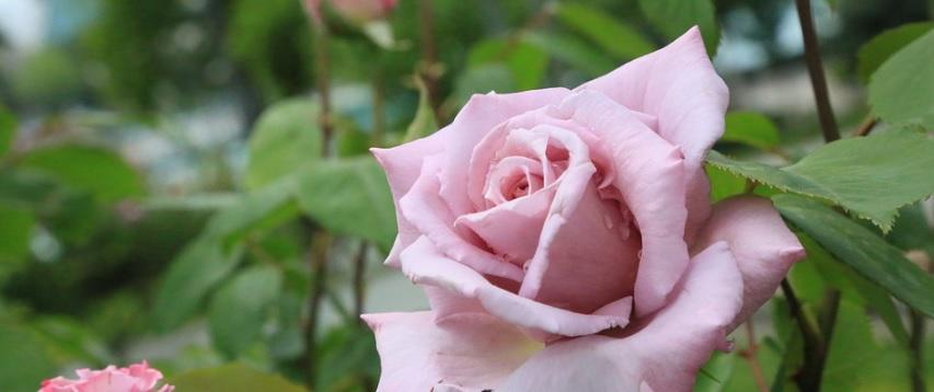 薔薇の写真2