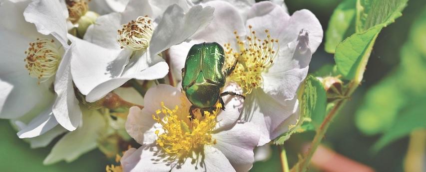 薔薇を食べるコガネムシの写真
