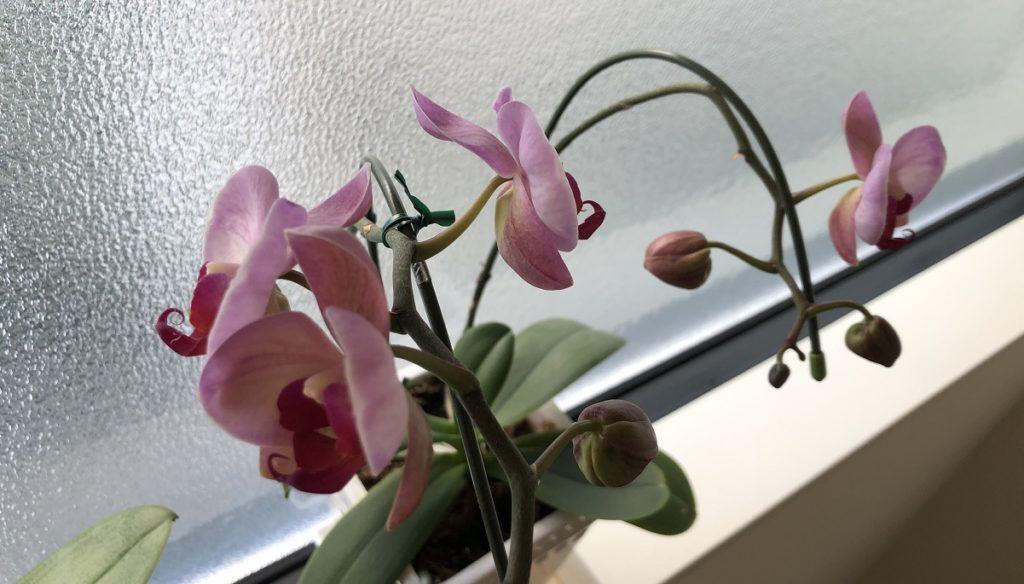 ほぼ満開の胡蝶蘭