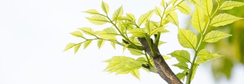 芽吹きの枝
