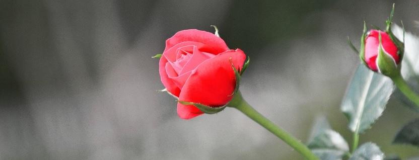 ミニ薔薇写真1