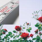 薔薇の成長速度を実測!品種ごとの違いも紹介