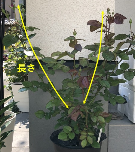 新芽の長さを測る方法の写真