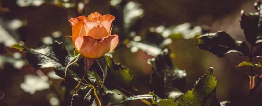 古びたオレンジ色の薔薇の写真