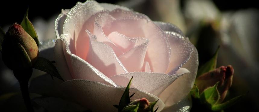 ピンク色の薔薇のアップ写真