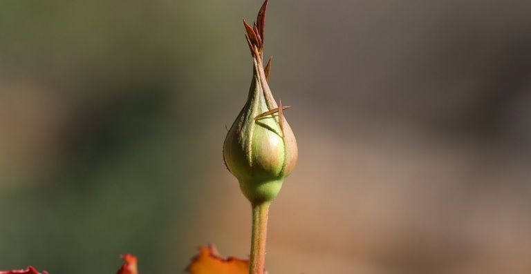 蕾が膨らんだ薔薇の管理方法と注意点とは?