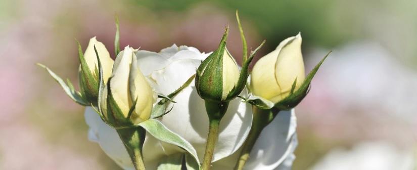 白い薔薇の蕾と開花した薔薇