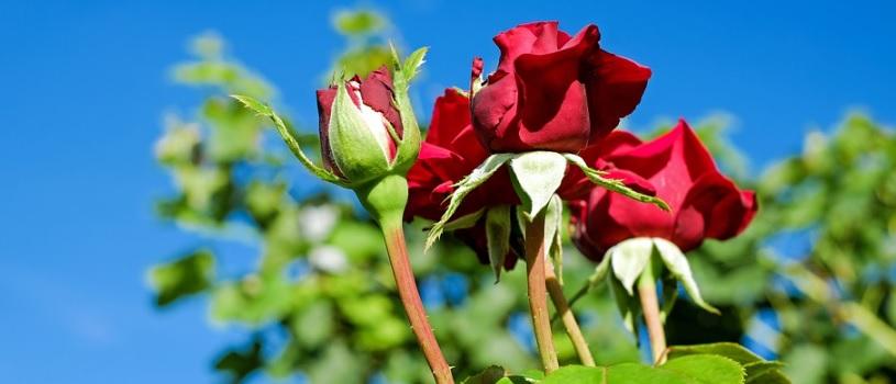 深紅の房咲きの薔薇