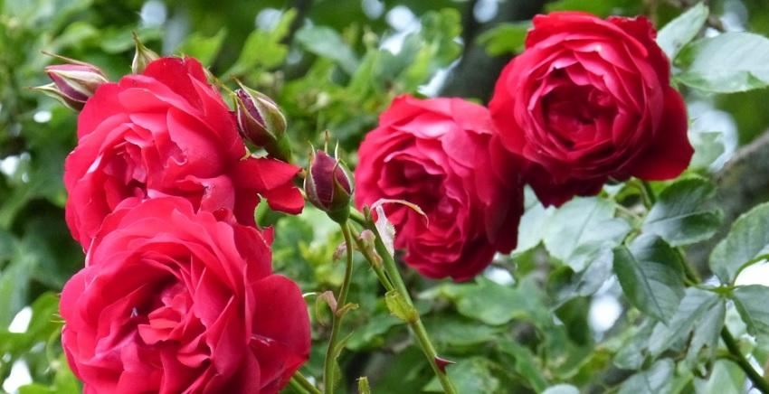 【薔薇の頂芽優勢】発芽点の高さごとの芽吹きの違いを調査