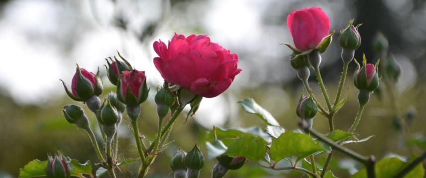 ピンクの薔薇の蕾