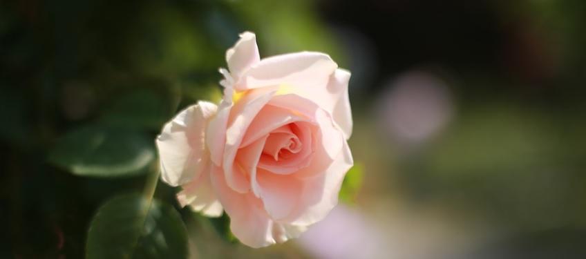 見ごろの薔薇の花