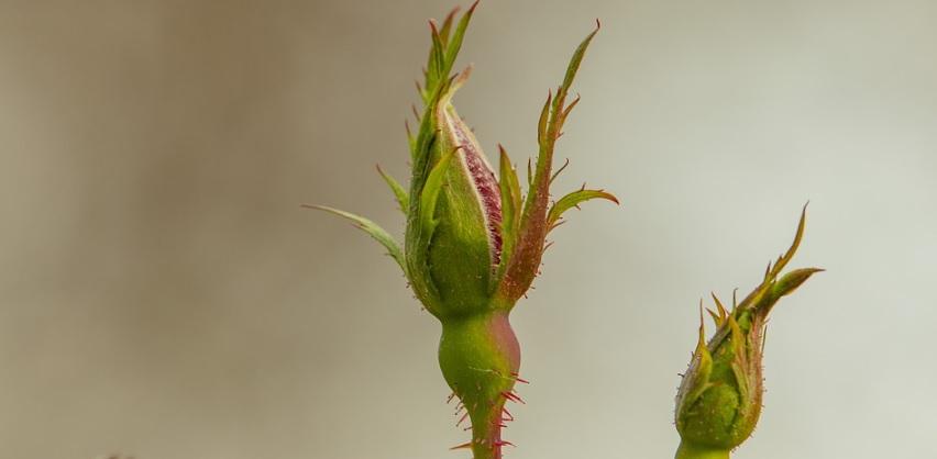 摘蕾 (ピンチ) は薔薇の株を充実させる必須作業