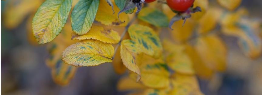 【危険信号!?】薔薇の葉が黄色くなり落葉する原因と対処方法