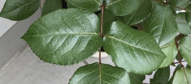 イングリッドバークマンの美しい照り葉