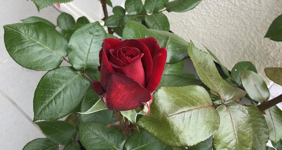 【深紅の薔薇】イングリッド バークマンの栽培と詳細な特徴を紹介