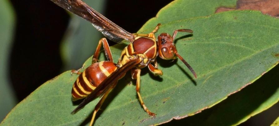アシナガバチは園芸の敵?味方?付き合い方は?