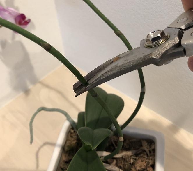 胡蝶蘭の花枝の剪定作業
