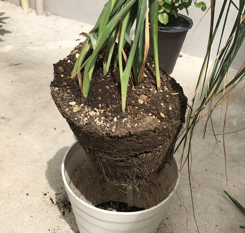 アイリスの根鉢