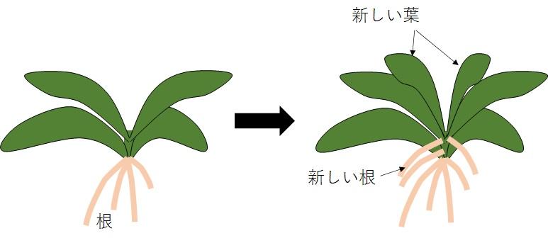胡蝶蘭の成長過程の図