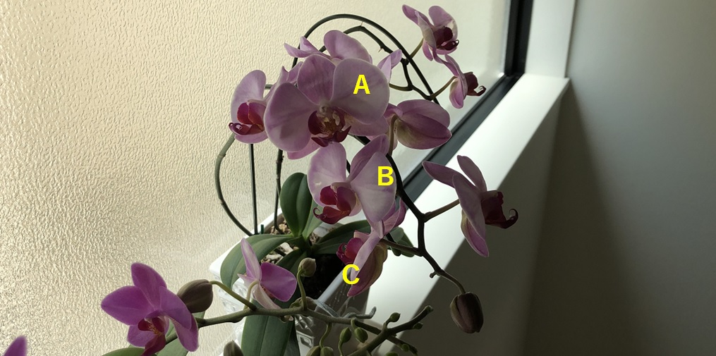 胡蝶蘭の花の向きを説明する写真