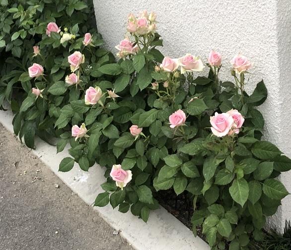 ハダニ被害を受ける前のミニ薔薇