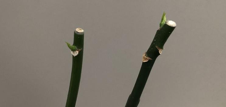 パキラの新芽の芽吹き写真