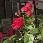 【薔薇】ルージュ・ピエールは摘蕾(摘心)しないとボーリング状態になる