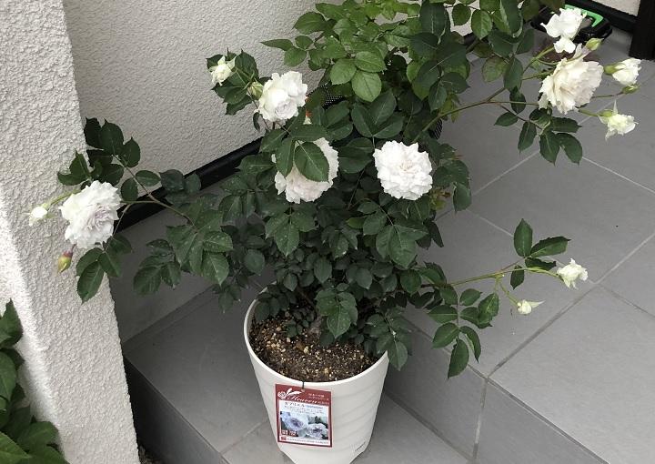 薔薇のガブリエルの横張り写真