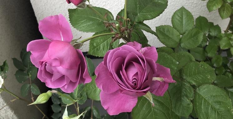 癌腫を除去した薔薇の管理と回復の実例を紹介