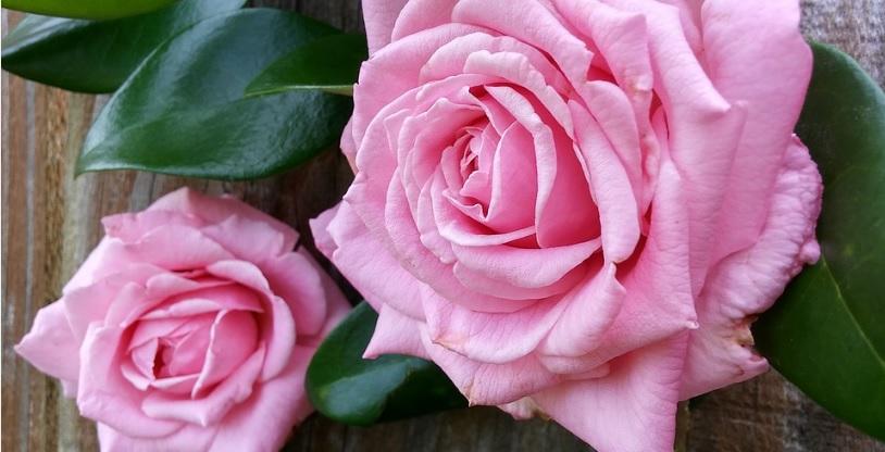 摘蕾 (摘心) 有無による薔薇の花のサイズ変化を実測