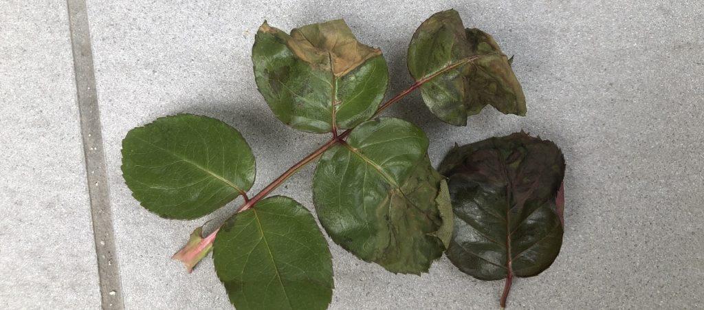 薬害の出た薔薇の葉